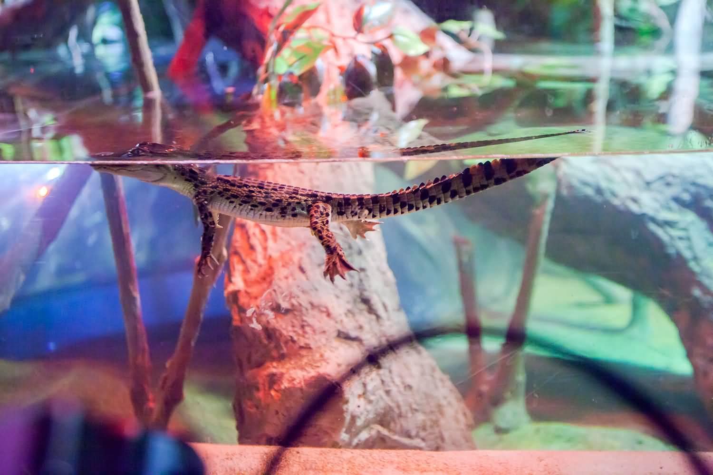 صورة دبي أكواريوم وحديقة الحيوانات المائية تستقبل عائلة التماسيح الملكية