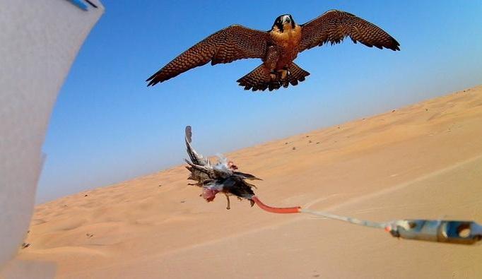 Photo of دبي تدرب الصقور باستخدام طائرات بدون طيار !!