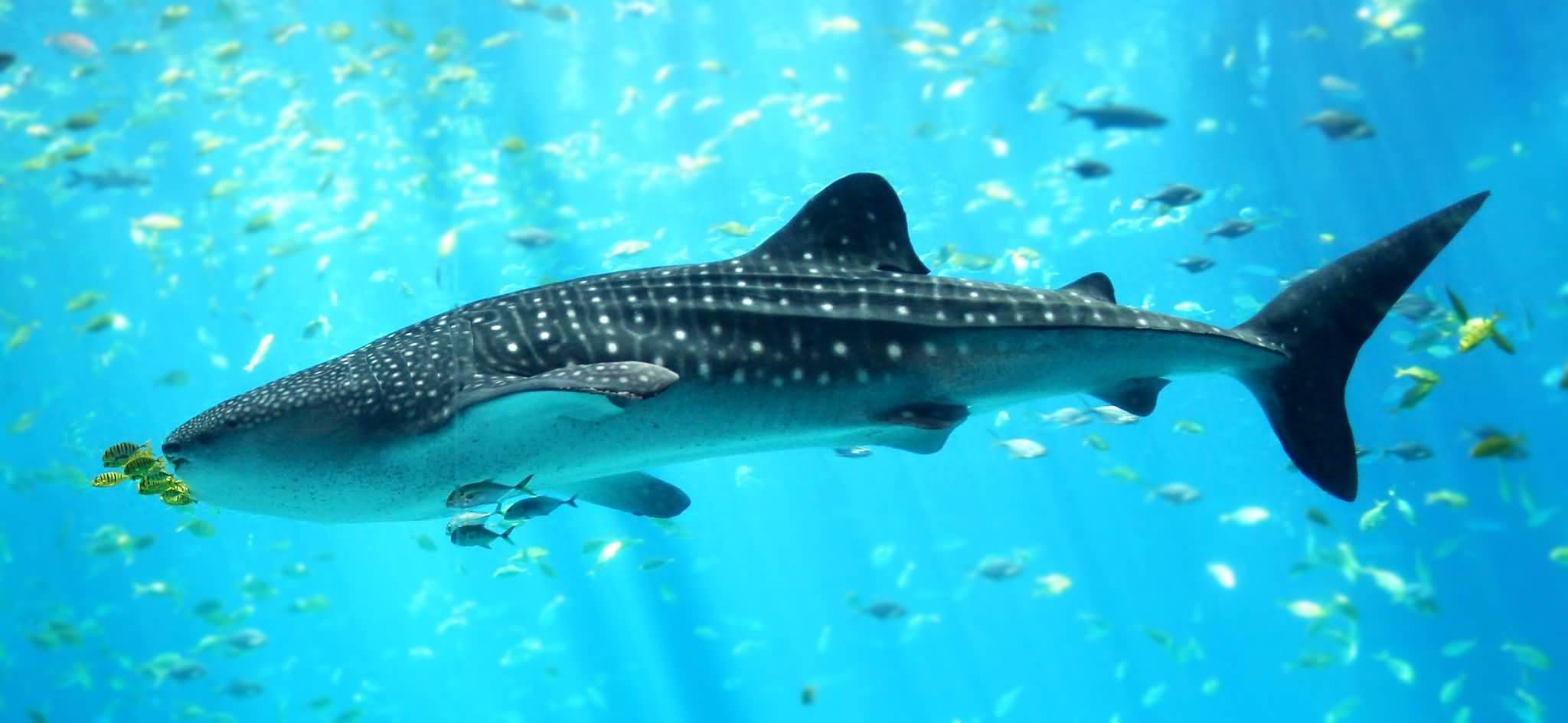 بالفيديو .. سمكة قرش الحوت في شاطئ دبي مارينا