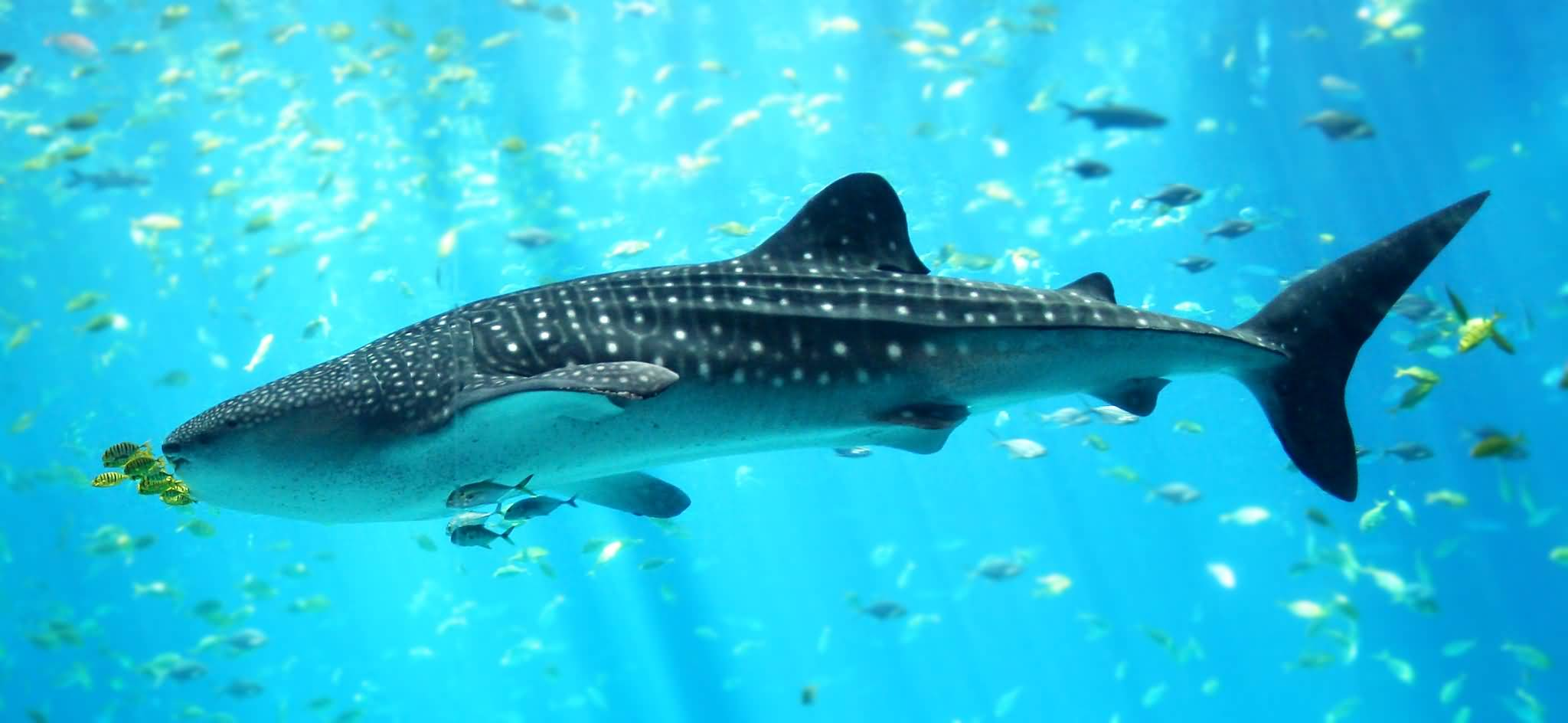 Photo of بالفيديو .. سمكة قرش الحوت في شاطئ دبي مارينا