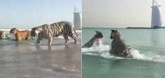 Photo of فيديو لــنمور تلهو وتسبح على الشاطئ المحاذي لـبرج العرب