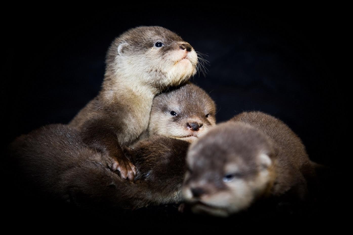 دبي أكواريوم وحديقة الحيوانات المائية يعرض صغار ثعالب الماء لأول مرة