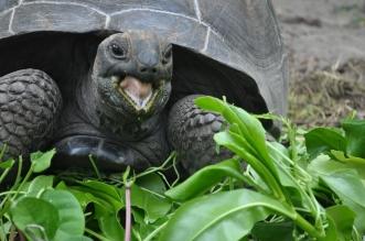 ولادة اثنتين من السلاحف العملاقة النادرة في جزيرة سيلويت
