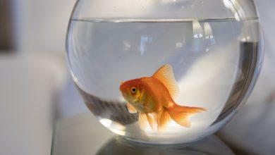 فندق ومنتجع ويستن دبي يقدم لزبنائه فرصة النوم مع السمكة الذهبية
