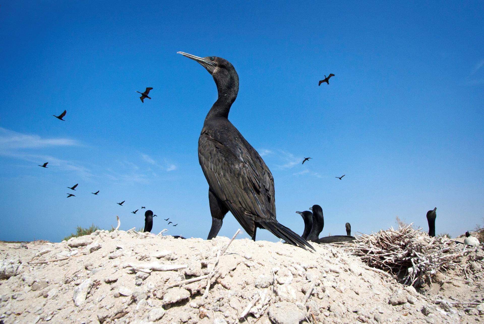 غراب البحر السقطري
