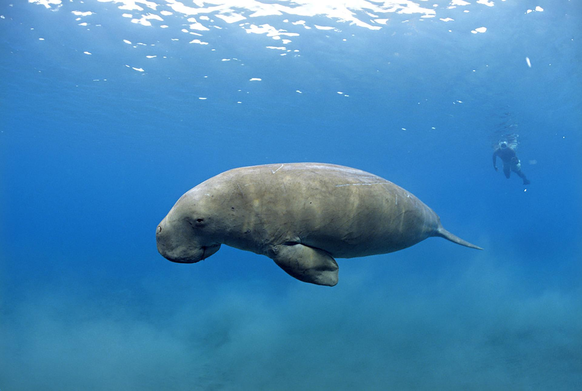 بقر البحر