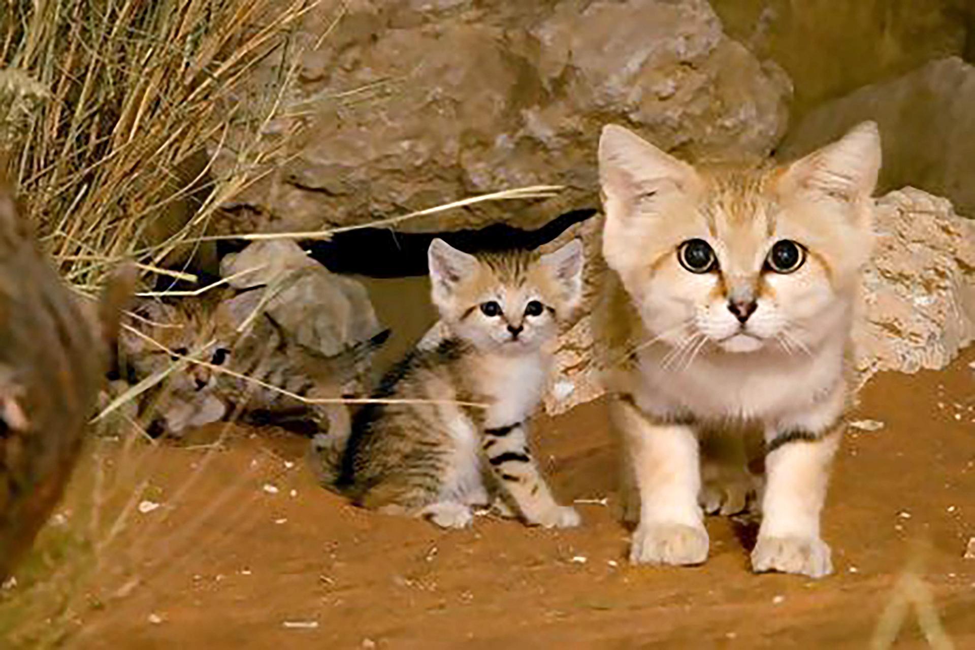 قطط الكثبان الرملية