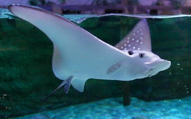 إطعام سمك الرقيطة Feed sting rays