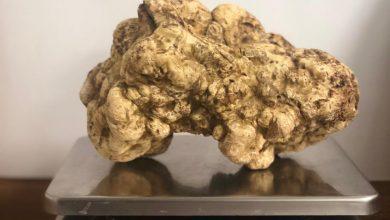 Photo of أكبر حبة من فطر الكمأة الأبيض في مطعم روبيرتوز دبي