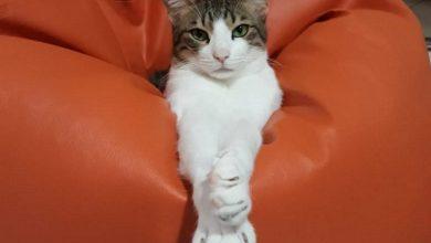 Photo of أيام تبني القطط من جمعية كيتي سنيب في دبي