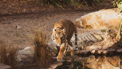 Photo of سفاري تاج يقدم لضيوفه فرصة مشاهدة النمور البريّة في موطنها
