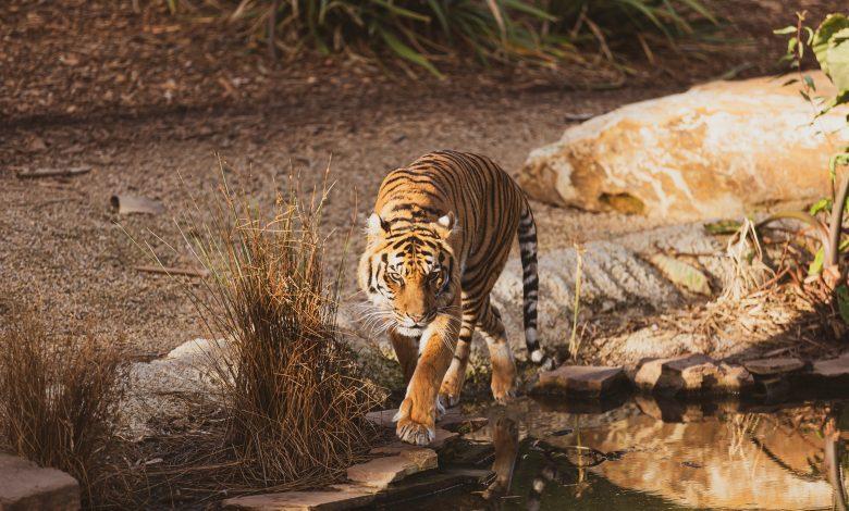 سفاري تاج يقدم لضيوفه فرصة مشاهدة النمور البريّة في موطنها