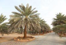 Photo of أبوظبي تنجح في إدارج النخلة ضمن قائمة التراث الثقافي غير المادي لليونسكو