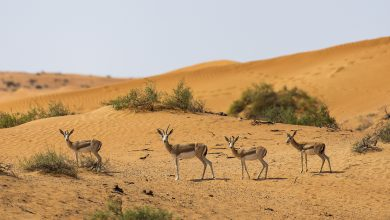 Photo of منتجع الريتز كارلتون رأس الخيمة يحتضن 80 غزال من غزلان الريم العربي