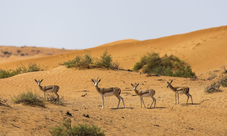 منتجع الريتز كارلتون رأس الخيمة يحتضن 80 غزال من غزلان الريم العربي