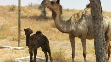 Photo of مُنتجع الريتز كارلتون رأس الخيمة يشهد ولادة ناقة تدعى لؤلؤة