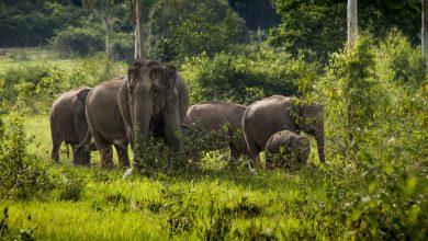 صورة إطلاق مشروع حماية الفيلة في التايلاند