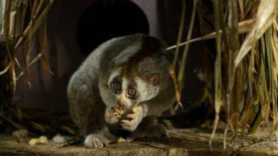 صورة مولود جديد ضمن عائلة حيوانات لوريس في ذا جرين بلانيت