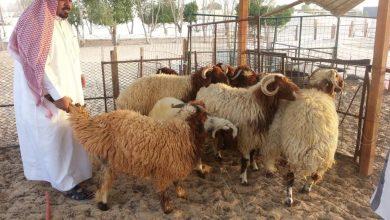 صورة 9 مخالفات لا يجب على ممارسي مهنة الرعي القيام بها في الإمارات