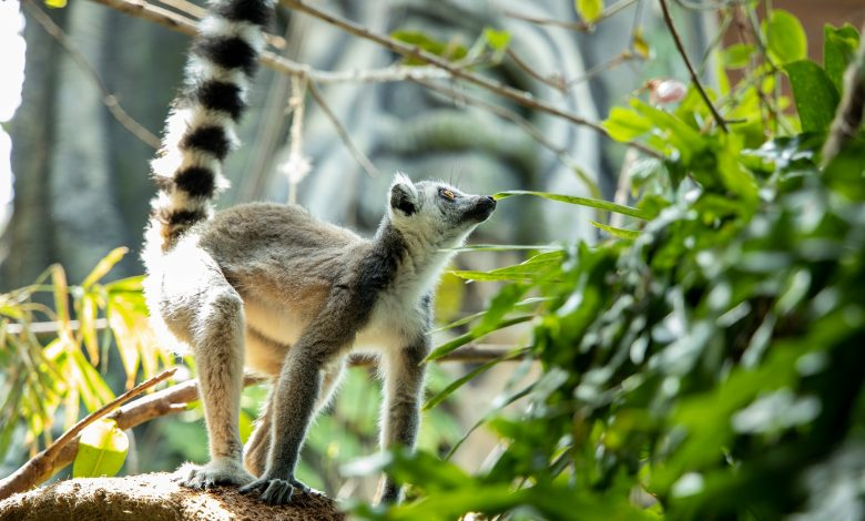 The Green Planet Lemurs-7256