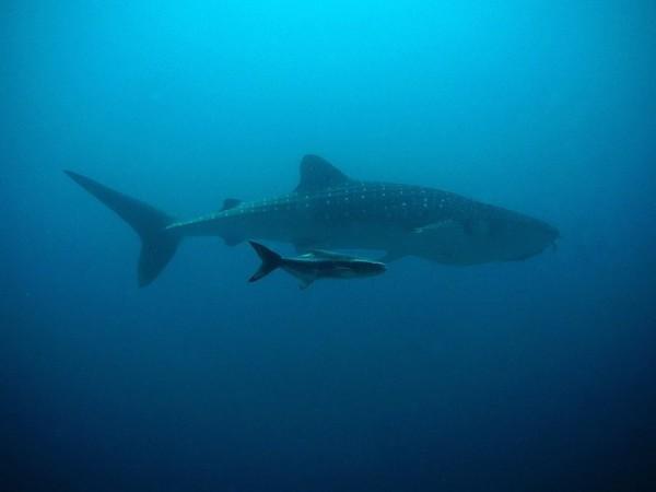 مهمة إنقاذ ناجحة لقرش الحوت